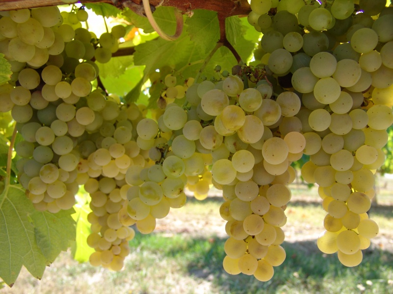 grappes-blanches